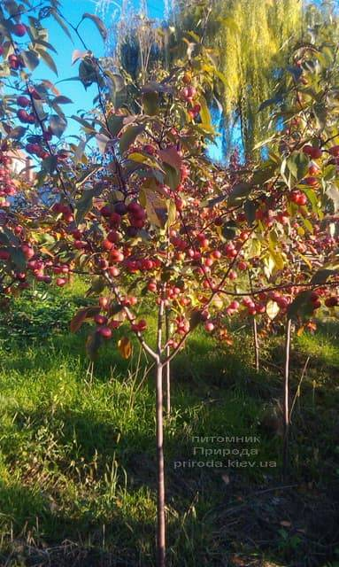 Яблоня райская декоративная Ола (Malus Ola) ФОТО Питомник растений Природа (13)