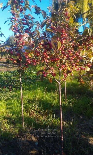 Яблоня райская декоративная Ола (Malus Ola) ФОТО Питомник растений Природа (14)