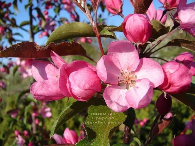 Яблоня райская декоративная Ола (Malus Ola) ФОТО Питомник растений Природа (2)