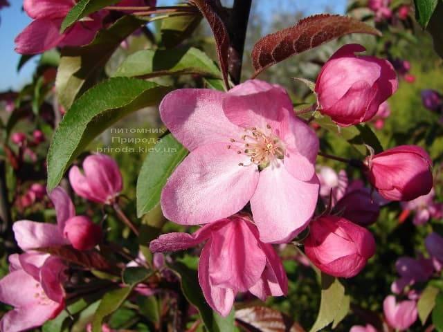 Яблоня райская декоративная Ола (Malus Ola) ФОТО Питомник растений Природа (3)