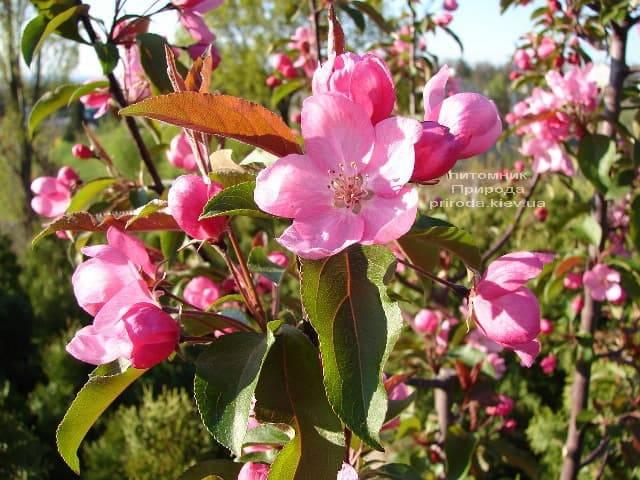 Яблоня райская декоративная Ола (Malus Ola) ФОТО Питомник растений Природа (4)