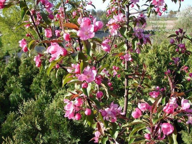 Яблоня райская декоративная Ола (Malus Ola) ФОТО Питомник растений Природа (5)