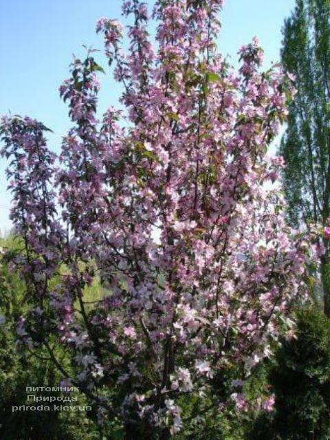 Яблоня райская декоративная Ола (Malus Ola) ФОТО Питомник растений Природа (6)