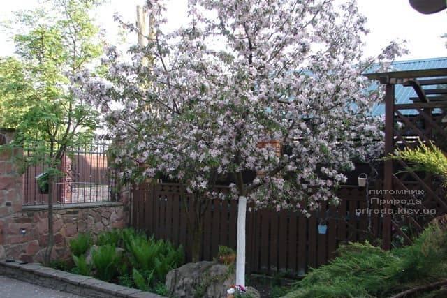 Яблоня райская декоративная Ола (Malus Ola) ФОТО Питомник растений Природа (7)