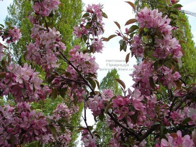 Яблоня райская декоративная Ола (Malus Ola) ФОТО Питомник растений Природа (8)