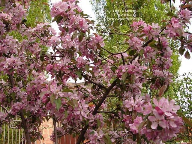 Яблоня райская декоративная Ола (Malus Ola) ФОТО Питомник растений Природа (9)