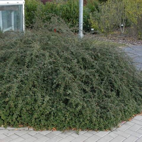 Кизильник гибридный Скогольм (Cotoneaster suecicus Skogholm) ФОТО Питомник растений Природа (2)