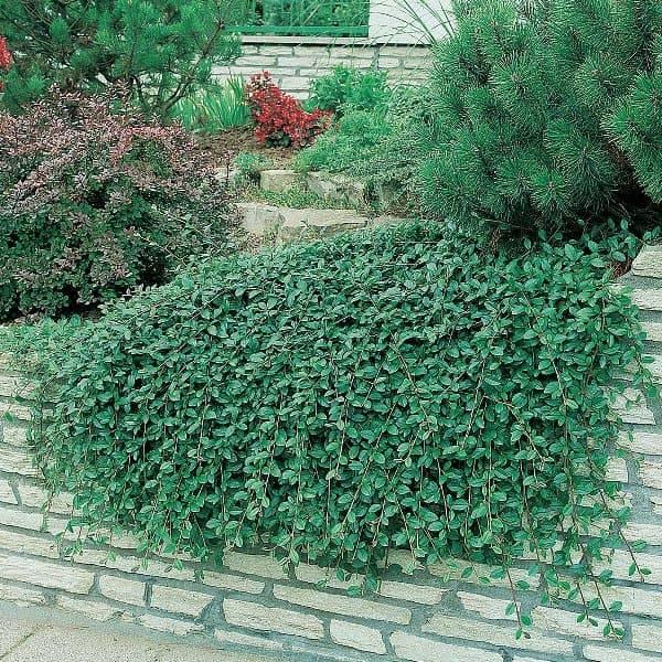 Кизильник гибридный Скогольм (Cotoneaster suecicus Skogholm) ФОТО Питомник растений Природа (3)