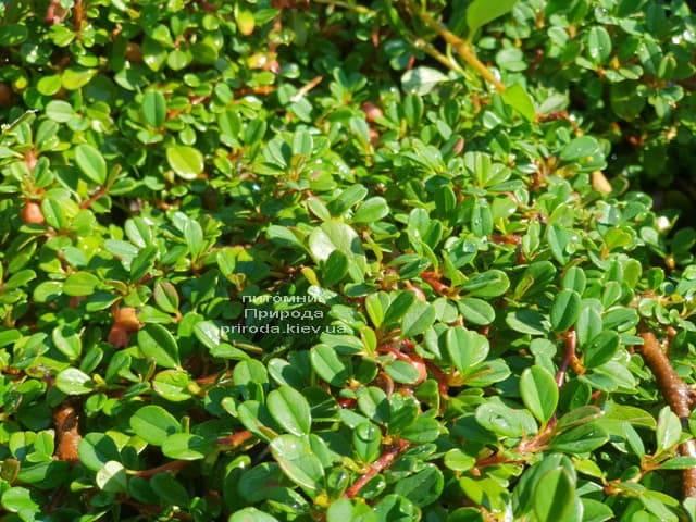 Кизильник мелколистный (Cotoneaster microphyllus) ФОТО Питомник растений Природа (1)