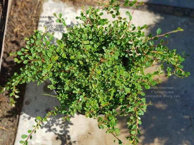Кизильник мелколистный (Cotoneaster microphyllus) ФОТО Питомник растений Природа (2)