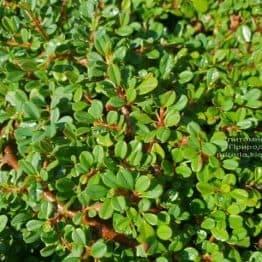 Кизильник мелколістний (Cotoneaster microphyllus) ФОТО Розплідник рослин Природа (3)
