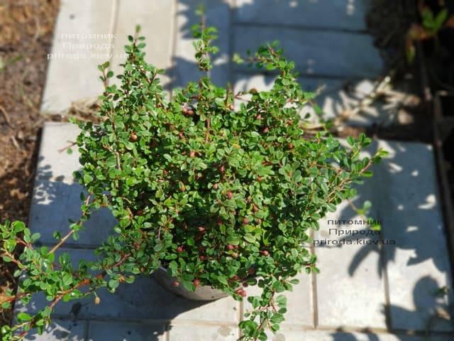Кизильник мелколистный (Cotoneaster microphyllus) ФОТО Питомник растений Природа
