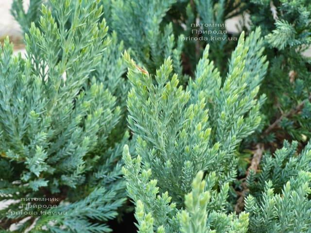 Можжевельник горизонтальный Блю Мун (Juniper horizontalis Blue Moon) ФОТО Питомник растений Природа (1)
