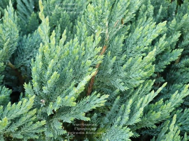 Можжевельник горизонтальный Блю Мун (Juniper horizontalis Blue Moon) ФОТО Питомник растений Природа (2)