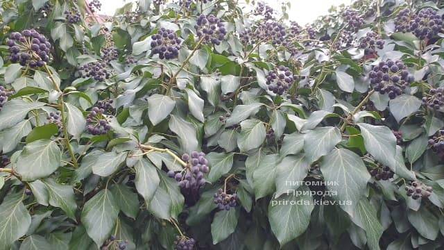 Плющ садовый вечнозелёный обыкновенный (Hedera helix) ФОТО Питомник растений Природа (1)