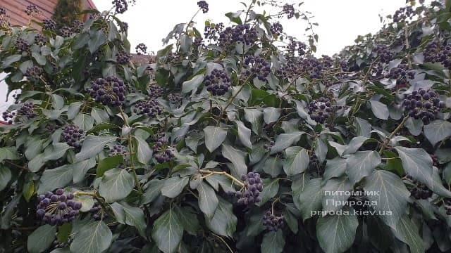 Плющ садовый вечнозелёный обыкновенный (Hedera helix) ФОТО Питомник растений Природа (2)