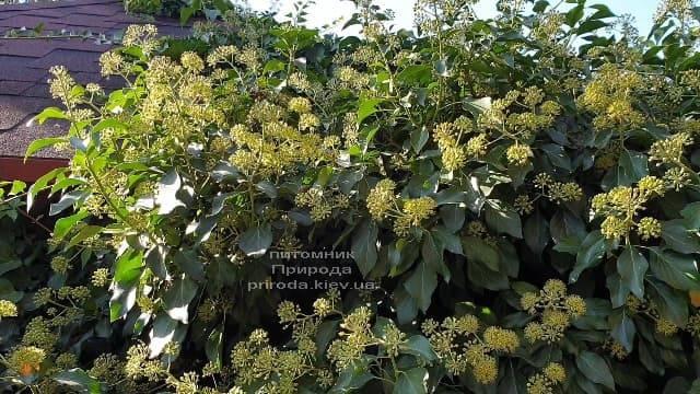 Плющ садовый вечнозелёный обыкновенный (Hedera helix) ФОТО Питомник растений Природа (3)