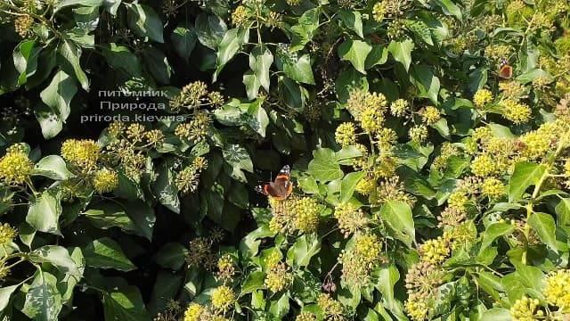 Плющ садовый вечнозелёный обыкновенный (Hedera helix) ФОТО Питомник растений Природа (4)