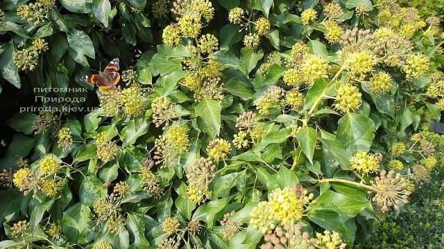 Плющ садовый вечнозелёный обыкновенный (Hedera helix) ФОТО Питомник растений Природа (5)
