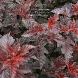 Пузыреплодник калинолистный Леди ин Рэд (Physocarpus opulifolius Lady in Red) ФОТО Питомник растений Природа (1)