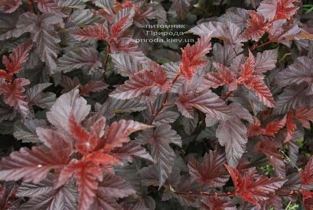 Міхуроплідник калінолістний Леді ін Ред (Physocarpus opulifolius Lady in Red) ФОТО Розплідник рослин Природа (1)