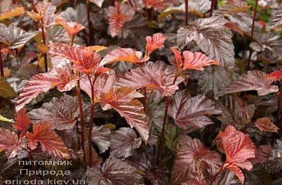 Міхуроплідник калінолістний Леді ін Ред (Physocarpus opulifolius Lady in Red) ФОТО Розплідник рослин Природа (2)