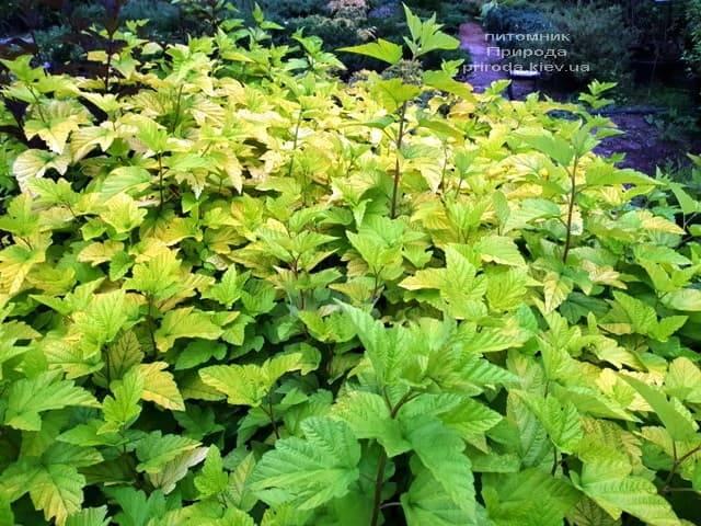 Міхуроплідник калінолістний Лютеус (Physocarpus opulifolius Luteus) ФОТО Розплідник рослин Природа (10)