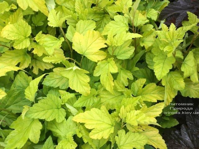 Міхуроплідник калінолістний Лютеус (Physocarpus opulifolius Luteus) ФОТО Розплідник рослин Природа (11)