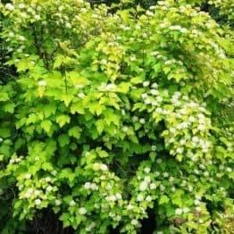 Пузыреплодник калинолистный Лютеус (Physocarpus opulifolius Luteus) ФОТО Питомник растений Природа (12)