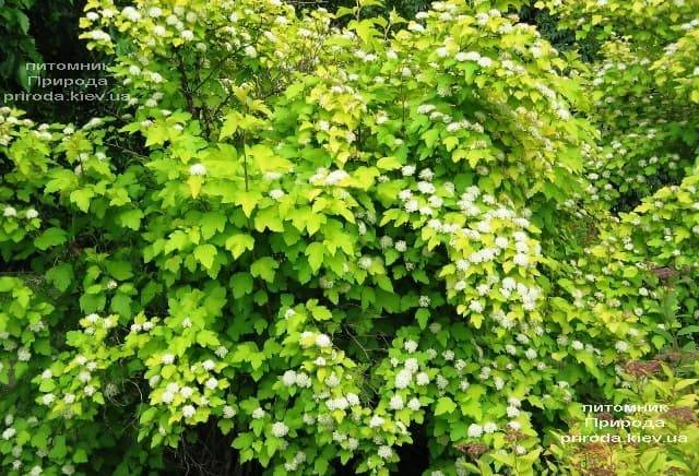 Міхуроплідник калінолістний Лютеус (Physocarpus opulifolius Luteus) ФОТО Розплідник рослин Природа (12)
