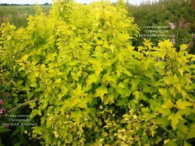 Міхуроплідник калінолістний Лютеус (Physocarpus opulifolius Luteus) ФОТО Розплідник рослин Природа (13)
