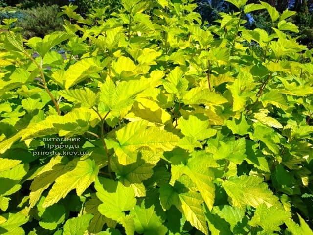 Міхуроплідник калінолістний Лютеус (Physocarpus opulifolius Luteus) ФОТО Розплідник рослин Природа (8)