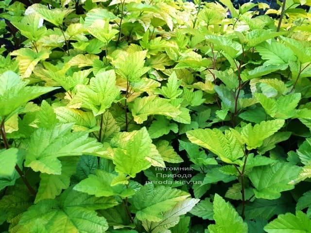 Міхуроплідник калінолістний Лютеус (Physocarpus opulifolius Luteus) ФОТО Розплідник рослин Природа (9)