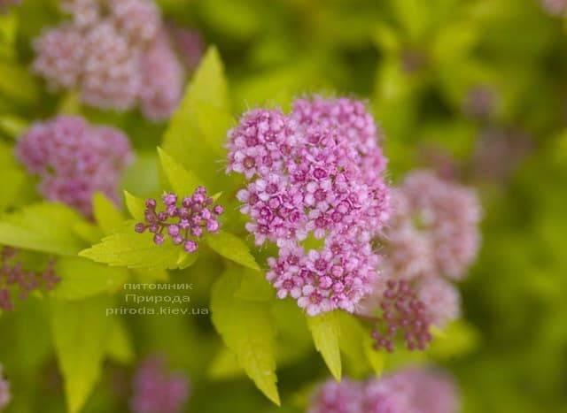 Спирея японская Сандроп (Spiraea japonica Sundrop) ФОТО Питомник растений Природа