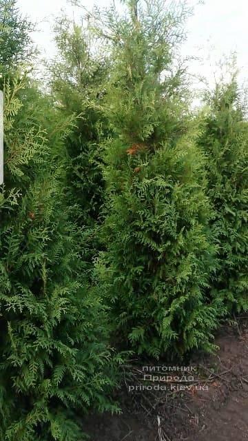 Туя западная Брабант (Thuja occidentalis Brabant) ФОТО Питомник растений Природа (64)