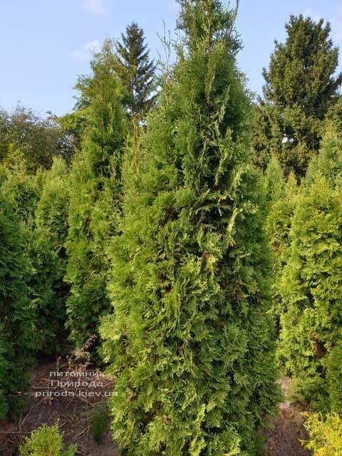Туя західна колоновидна Колумна (Thuja occidentalis Columna) ФОТО Розплідник рослин Природа (10)