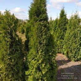 Туя западная колоновидная Колумна (Thuja occidentalis Columna) ФОТО Питомник растений Природа (11)