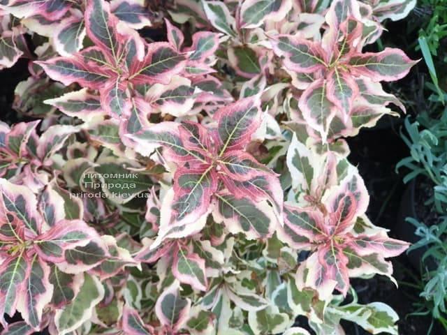 Вейгела цветущая Монет (Weigela florida Monet) ФОТО Питомник растений Природа (1)