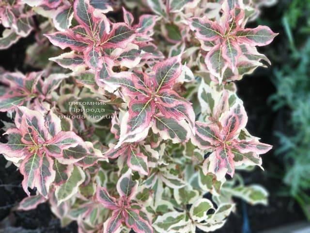 Вейгела цветущая Монет (Weigela florida Monet) ФОТО Питомник растений Природа (2)