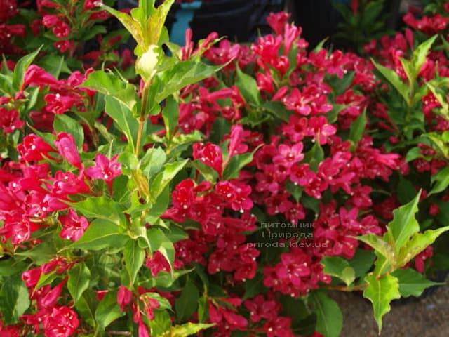 Вейгела квітуча Ред Принц (Weigela florida Red Prince) ФОТО Розплідник рослин Природа (1)