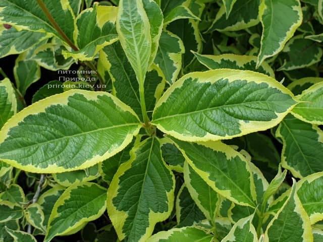 Вейгела Нана Вариегата (Weigela Nana Variegata) ФОТО Питомник растений Природа (1)