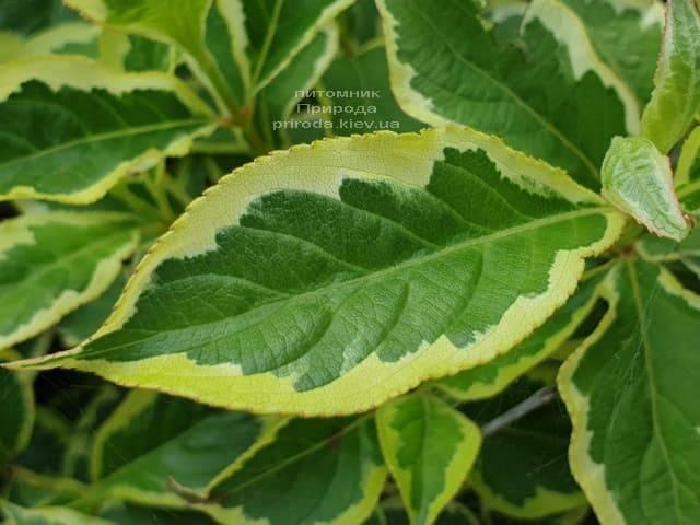 Вейгела Нана Вариегата (Weigela Nana Variegata) ФОТО Питомник растений Природа (2)