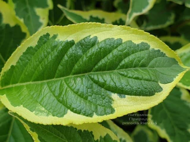 Вейгела Нана Вариегата (Weigela Nana Variegata) ФОТО Питомник растений Природа (3)