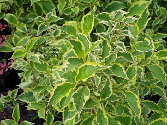 Вейгела Нана Вариегата (Weigela Nana Variegata) ФОТО Питомник растений Природа (5)