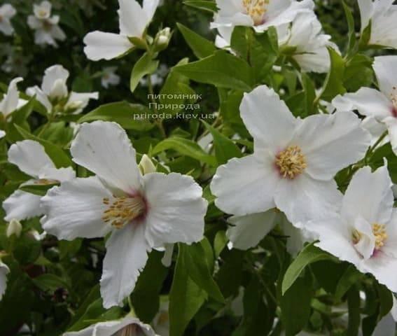 Бузок Бель Етуаль (Жасмин садовий) (Philadelphus Belle Etoile) ФОТО Розплідник рослин Природа (1)