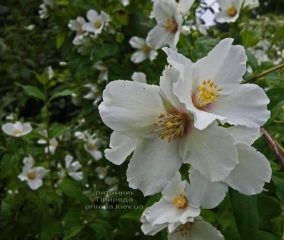 Бузок Бель Етуаль (Жасмин садовий) (Philadelphus Belle Etoile) ФОТО Розплідник рослин Природа (2)