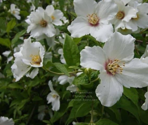 Бузок Бель Етуаль (Жасмин садовий) (Philadelphus Belle Etoile) ФОТО Розплідник рослин Природа (3)