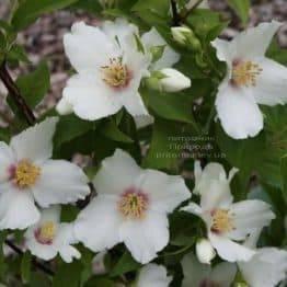 Бузок Бель Етуаль (Жасмин садовий) (Philadelphus Belle Etoile) ФОТО Розплідник рослин Природа (4)