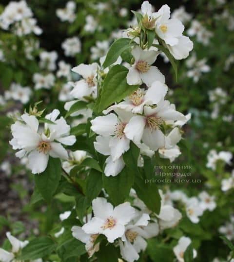Бузок Бель Етуаль (Жасмин садовий) (Philadelphus Belle Etoile) ФОТО Розплідник рослин Природа (5)