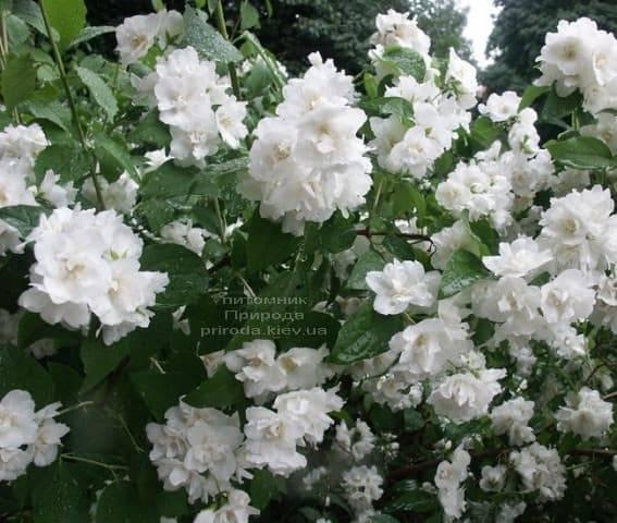 Бузок Букет Бланк (Жасмин садовий Білий Букет) ФОТО Розплідник рослин Природа (1)